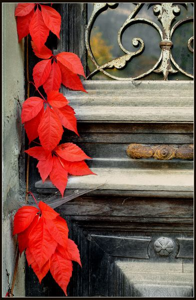 Vivido Rosso. Ivy reclaims a beautiful doorframe.