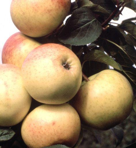 Aikainen syys- ja herkkulajike kukkii varhain keväällä. Melko hyvä ruven ja muumiotaudin kestävyys. Kotimainen jaloste.  Hedelmä: keskikokoinen tai suuri, mietoarominen, raikkaan makeanhappoinen; malto kellanvalkea, rapea ja mehukas. Poimintakypsä syyskuun alkupuolella ja säilyy lokakuuhun.