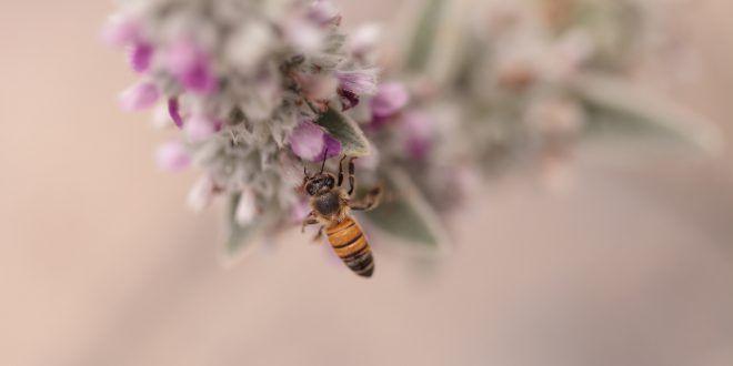 Api: negli Stati Uniti 7 tipi di insetti nell'elenco delle specie a rischio di estinzione: sono originarie delle Hawaii