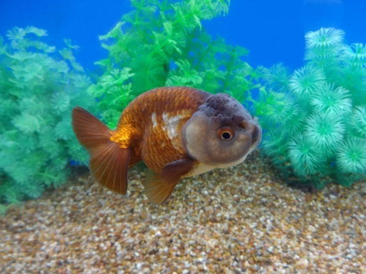 790 best aquarium fish fancy goldfish images on for Fancy fish tanks