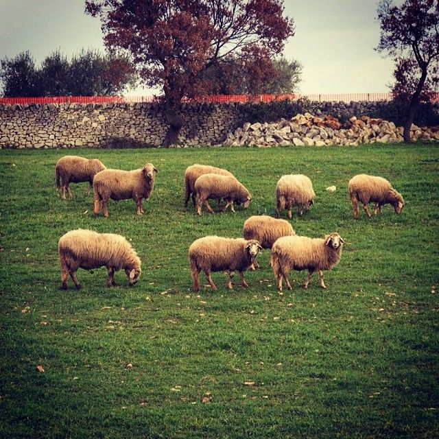 .@Pioggia Store Mozzarelle, burrate e prelibatezze made in Puglia | Tra i pascoli della #valleditria. #puglia #martinafranca #nature #green #iger... | Webstagram