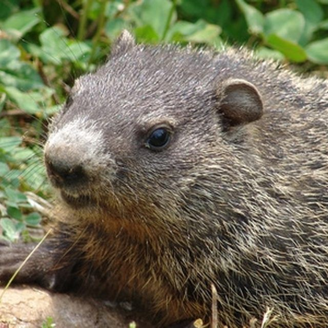 How To Use Epsom Salts To Keep Woodchucks Away From A Vegetable Garden Gardens Read More And
