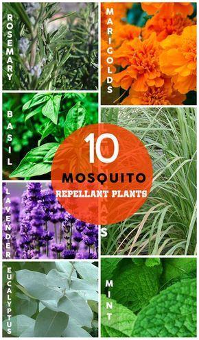 10 Natural Mosquito Repellant Plants