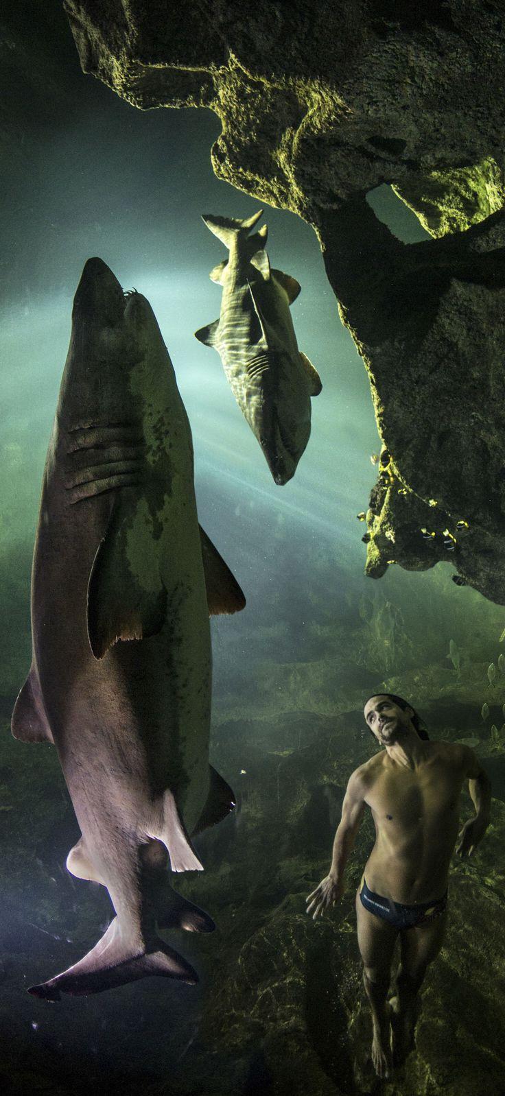 Sand tiger shark information amp pictures of sand tiger sharks - Diving With Sand Tiger Sharks