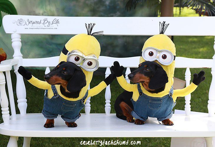 Dachshund Minion Costume #minions #dogs #costume