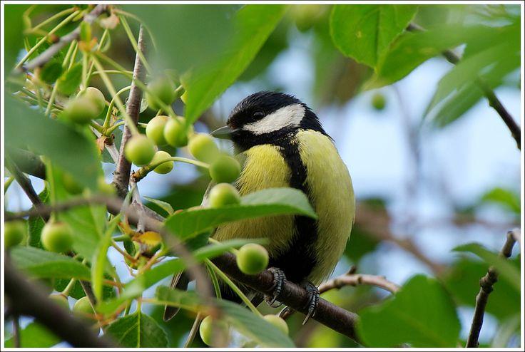W wiśniowym sadzie. - jl3044   Fotosik.pl