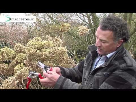 Hortensia snoeien - Tuinieren.nl