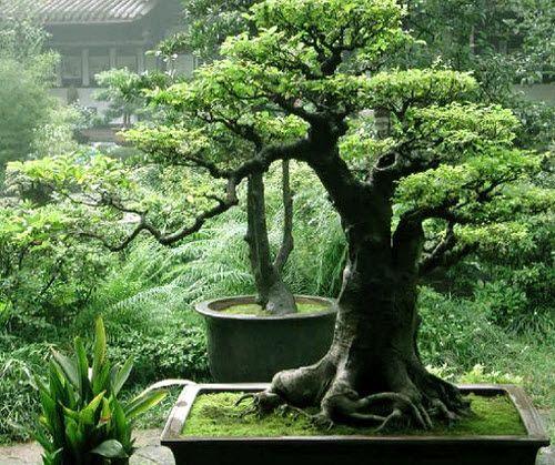 Cara Instan Menanam Bonsai | 13/11/2014 | SolusiProperti.com - Siapa tak kenal Bonsai?, tanaman unik yang mini, dengan harga pantastis bisa melebihi tanaman yang 3x lebih besar dari padanya. Teknik sekaligus menanam, serta seni tanam yang biasa ... http://news.propertidata.com/cara-instan-menanam-bonsai-2/ #properti