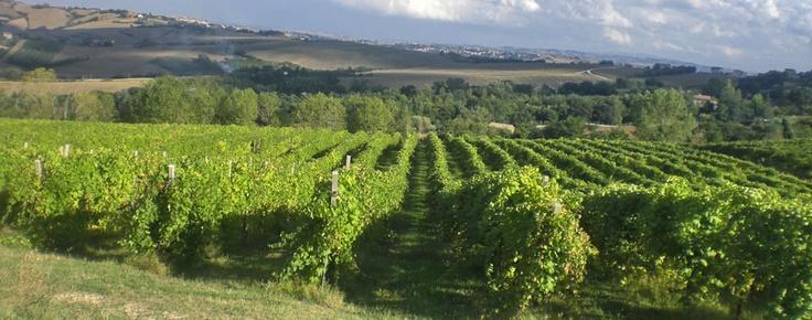 Barchi (PU): Azienda Agraria Fiorini #bianchello #cabernetsauvignon #sangiovese #montepulciano #barchi #pesarourbino