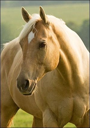 ": Palomino Quarter Horse | Mare: Looks like a barrel horse we had named ""Honey"""