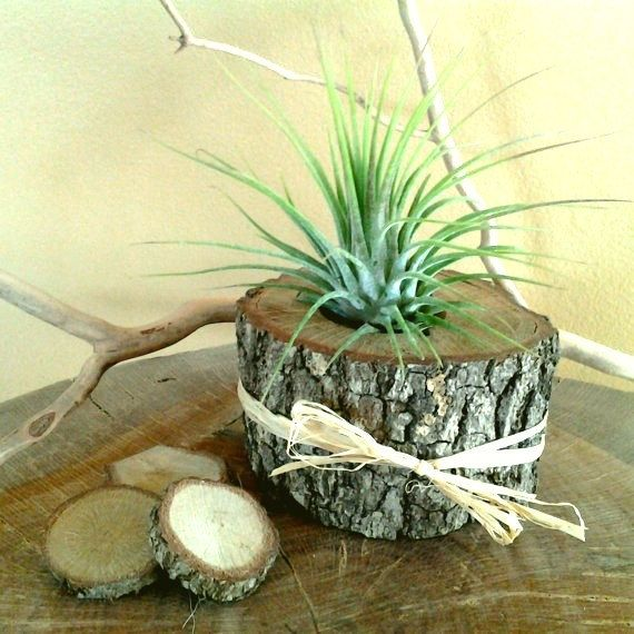 Air Plant in Natural Tree Trunk Slice - Rustic Wedding decor - Wedding favors - Air plants - diy projects on Etsy, $6.00