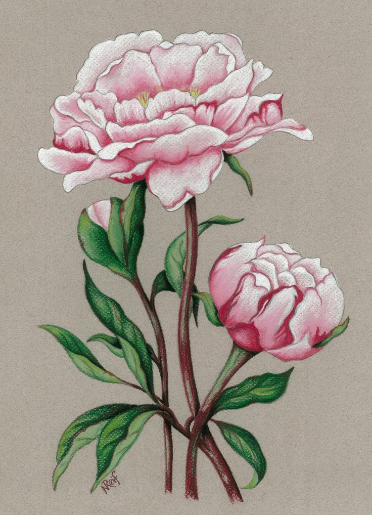 """""""Pink Paeony"""".Pastel on Art Paper. Available as an original, prints or greeting cards."""