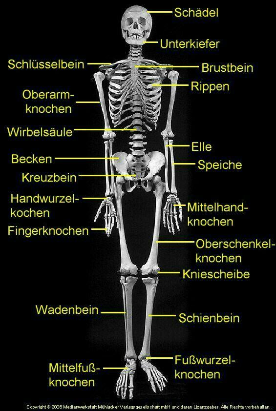 Knochen des Menschen - Latein Flashcards | Quizlet