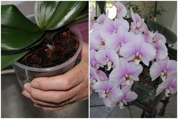 Hihetetlen! Így lehet akár 20 virág is egyszerre az orchideádon! Próbáld ki ezt a trükköt! - Tudasfaja.com