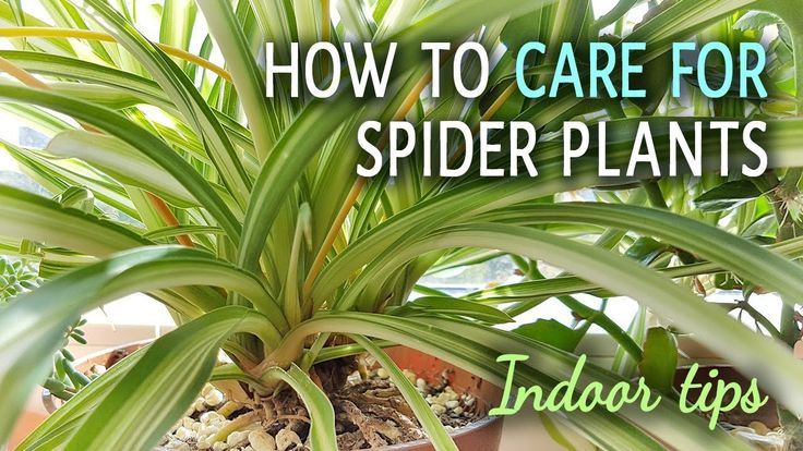 How To Care For Spider Plants Indoors  Spider plants are nice and easy to grow plants. It is a good choice if you are just starting out growing plants and looking for something low maintenance.  Spider plants purify the air, which is a nice addition. You can easily propagate them with plantlets, you will have a lots of spider plants at home very soon.