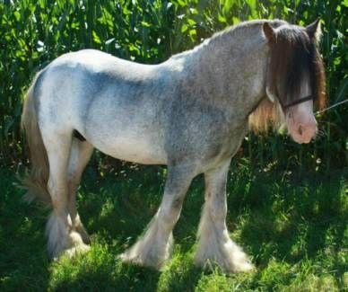 DECKHENGST TINKER IRISH COB HENGST in Hessen - Bad Arolsen | Ponys günstig kaufen | eBay Kleinanzeigen
