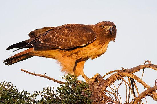 Falcão vermelho de cauda (Buteo jamaicensis). Parque Shoreline, Mountain View, Califórnia, USA.  Fotografia: Greg Cope.