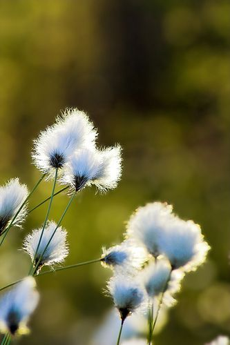 Tupasvilloja 5 | Tufts of Hare's-tail Cottongrass (Eriophoru… | Flickr - Photo Sharing!