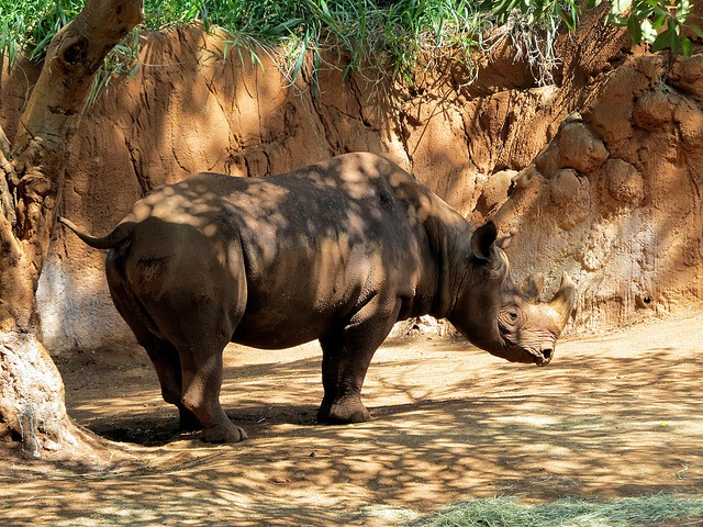Black Rhinoceros: The National Animal of Lesotho