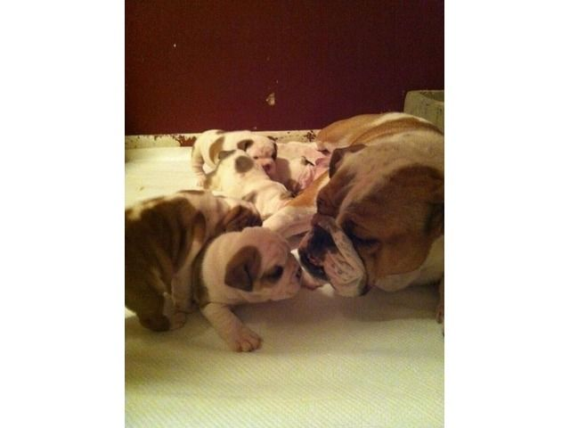Solicitous English Bulldog Puppies For Sale Great Discount