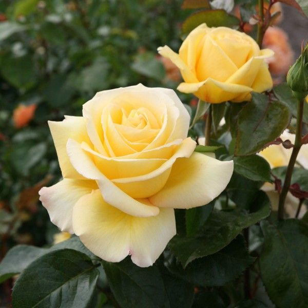 'Avec Amour' | Hybrid Tea Rose. Introduced in Germany by Rosen-Tantau/Tantau Roses in 2014