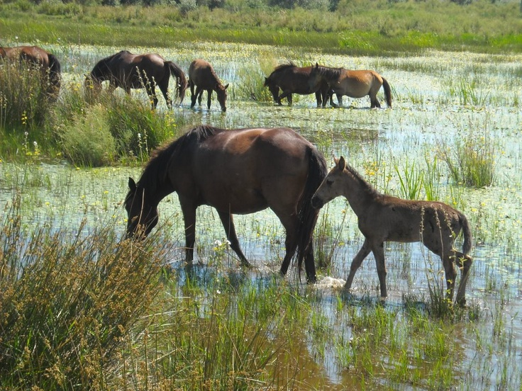 Wild horses in the Danube Delta! Letea Forest is home to about 3,600 wild horses, the last remaining horses to roam free on the European continent.