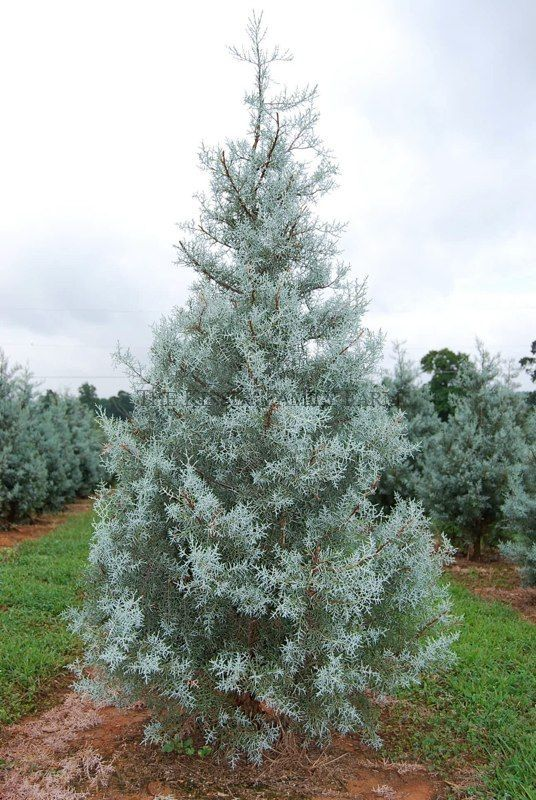 Arizona Blue Ice Cypress - super fast growing tree. We love ours