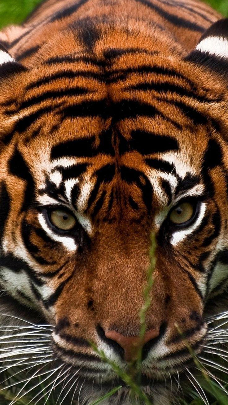 tiger, face, aggression, animal