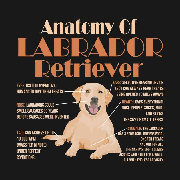 Check Out This Awesome Cute And Funny Anatomy Of A Labrador