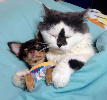 gato y perros chihuahua