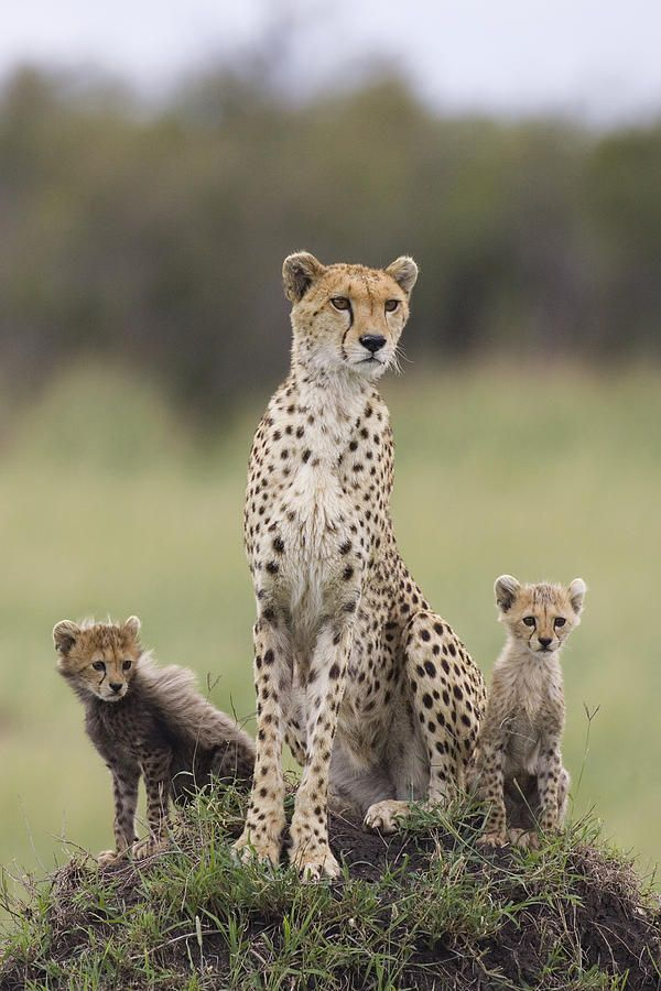Cheetah Mother And Cubs by Maasai Mara, Kenya