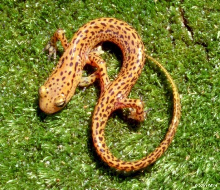 Longtail Salamander