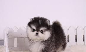 pomeranian spitz aleman cute tiny little small teacup breed dog puppy