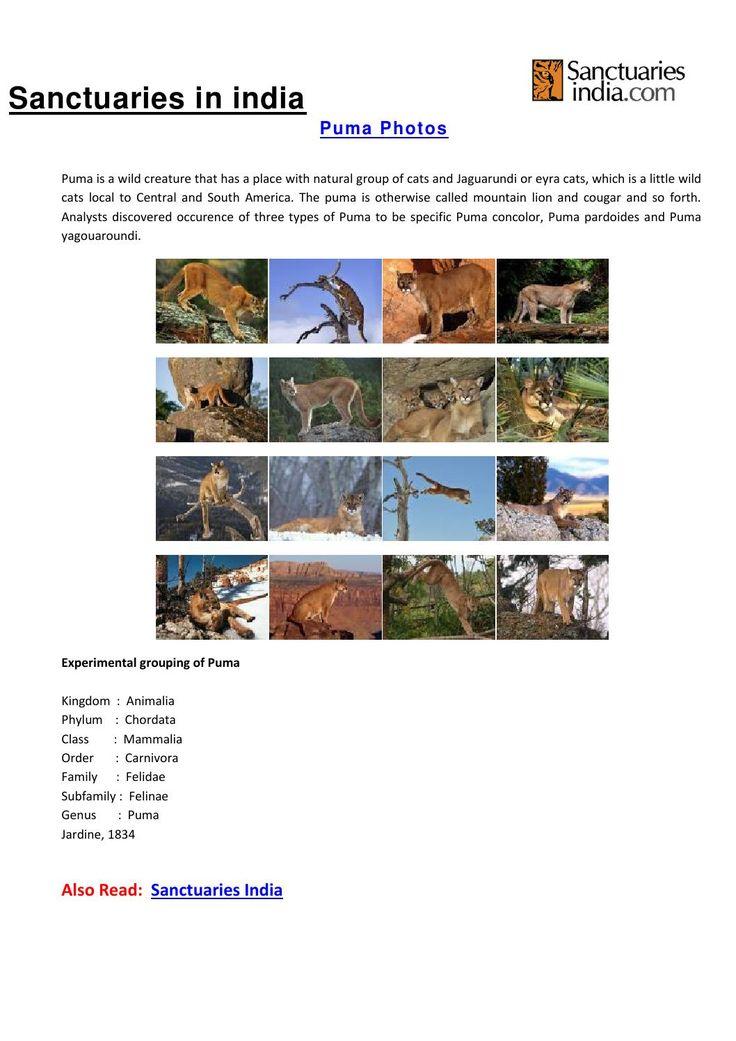 Sanctuaries in india puma photos  Puma Gallery, Puma pics, Puma photos, Puma pictures, Puma photography, Puma images, Puma photo gallery, Puma Gallery images @ sanctuariesindia.com