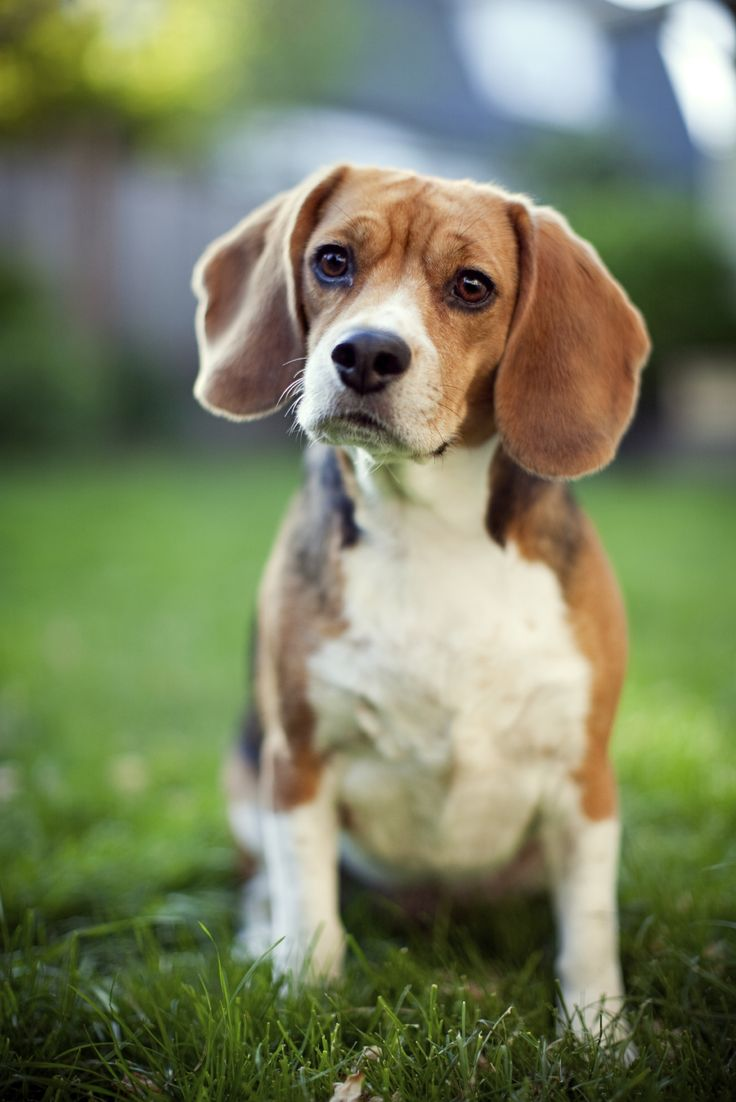 puzzled beagle