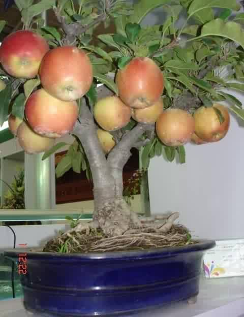 growing fruit trees in containers