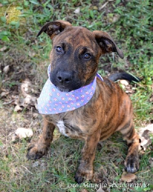 BABS is a female American Staffordshire Terrier mix, medium size ...