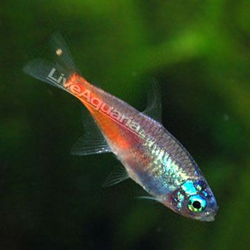 how to breed neon tetra tropical fish