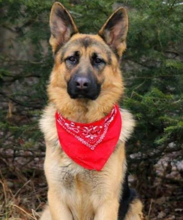 Pin By German Shepherd Store On Red And Black German Shepherd Losing A Dog Dog Ages Dogs