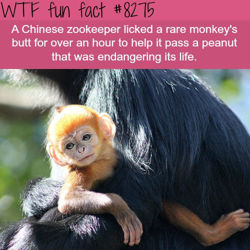 Zookeeper licked a monkeys butt for an hour to save its life -