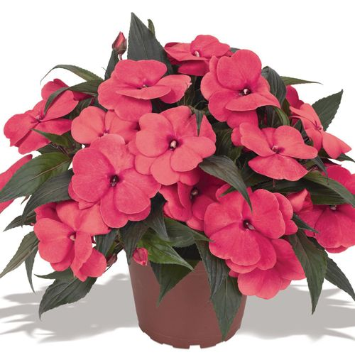 New Guinea Impatiens Magnum Hot Pink Full Shade Annuals