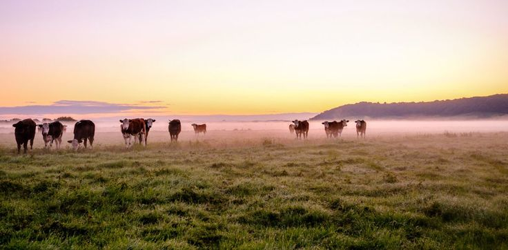 Cows in the morning mist   #landscape #photography