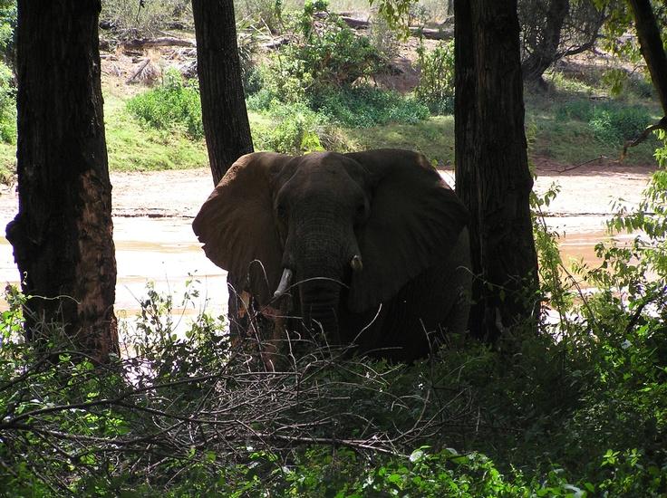 Droogte in Samburu. Kwam door de droge rivierbedding naar de lodge gelopen. Waren ze niet blij mee. Olifant in must...
