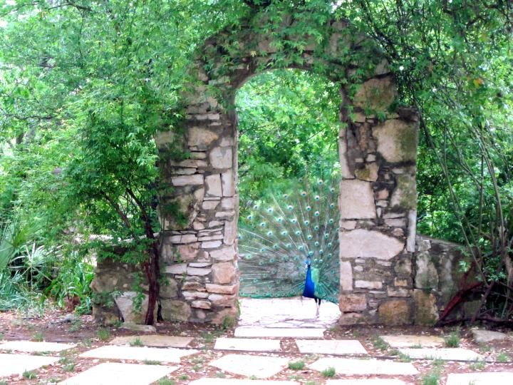 mayfield park austin   Pretty Peacocks of Mayfield Park and Nature Preserve in Austin Texas