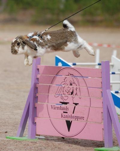 rabbit jumping. http://www.alltomkaniner.n.nu/ustallningar-och-hoppning