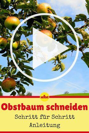 Obstbaumschnitt Kirsche Schneiden