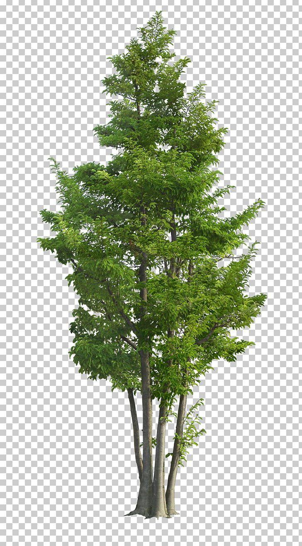 Ilex Rotunda Tree Landscape Garden Green Png Bonsai Branch Christmas Tree Coni Family Tree Tree Photoshop Tree Plan Png Landscape Trees