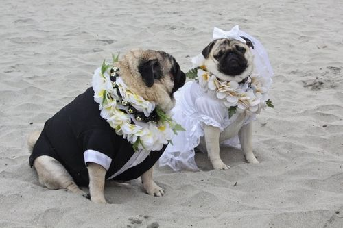 A pug beach wedding: | Proof That Pugs Make Literally Everything 100 Times Better