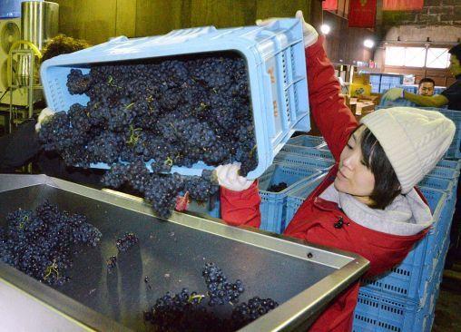 千歳ワイナリーで始まった赤ワインの仕込み作業