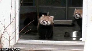 Peur sur le panda roux #gif